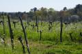 Des vignes bien fleuries