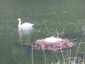 Deux cygnes sur un étang
