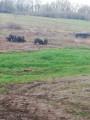 Elevage de porcs en plein-air