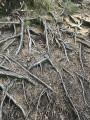 Enchevêtrement de racines