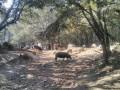 Enclos de porcs en liberté
