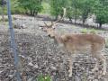 Enclos des cerfs à Fontenille