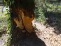 Encore les castors