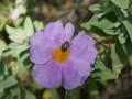 Les abeilles de Cuers