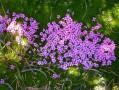Fleurs du Glandasse