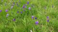 Fleurs  pensées des Alpes