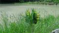 Floraison des iris
