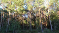 Forêt de conifères