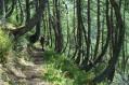 """Forêt de Mélèzes """"en crosse"""""""