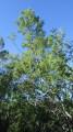 forêt de mimosas