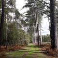 Forêt de pins sylvestres