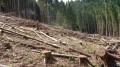 Forêt Vosgienne après la tempête de 1999