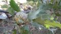 gland du chêne chevelu au domaine de la Touravelle