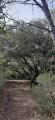 grand arbre à plusieurs souches - tourner à gauche