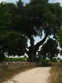 Grand Chêne vert de François 1er