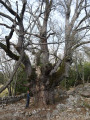 Gros chêne du Baou de la Gaude