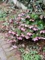 helleborus orientalis hybride (étape D) jardin botanique