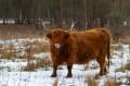 Vache de race Highlands cattle
