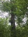 Ibex grand chêne