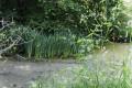 Iris et lentilles d'eau sur les étangs