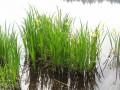 Iris sauvages près de l'étang de Briou