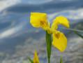 Iris sur l'étang des Basses Godernes