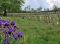 Iris, vigne ...