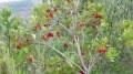 L'arbre à fraises du midi