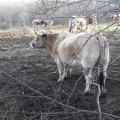 L'auvergne, pays d'élevage