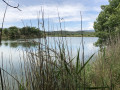 L'étang entre les roseaux