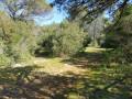 la clairière avec le pin