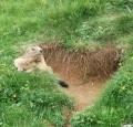 La marmotte du Pas des Chattons