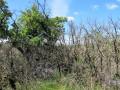 La végétation : les restes de buis