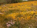 Lande en fleur