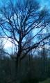 Le chêne à cavités