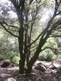 le chêne à la bifurcation point 2