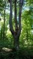 Le Chêne Chandelier