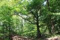 Le chêne de la chapelle en été