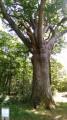 Le chêne de la tête d'Alouette