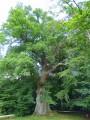 Le chêne de la Vierge