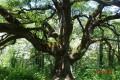 Le chêne de Pascaline