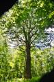 Le chêne des moines à partir de l'Abbaye de Villers Bettnach