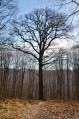 Le Chêne des Moines