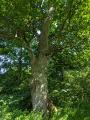 Le chêne et le roseau: Ici le chêne.