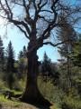le chêne remarquable