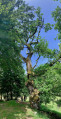 Le chêne sur le site du moulin ...
