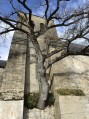 Le chêne tricentenaire