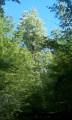 Le grand marronnier en plein bois