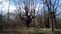 Le Gros Chêne