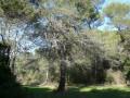 le gros pin dans la clairière